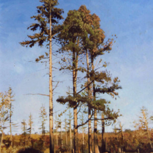 Scots Pines. Oil On Canvas 100 x 70 cm